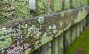 Moss on fence