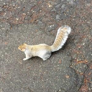 watcom-squirrel